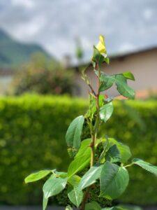 foto di una rosa matozzo giardini