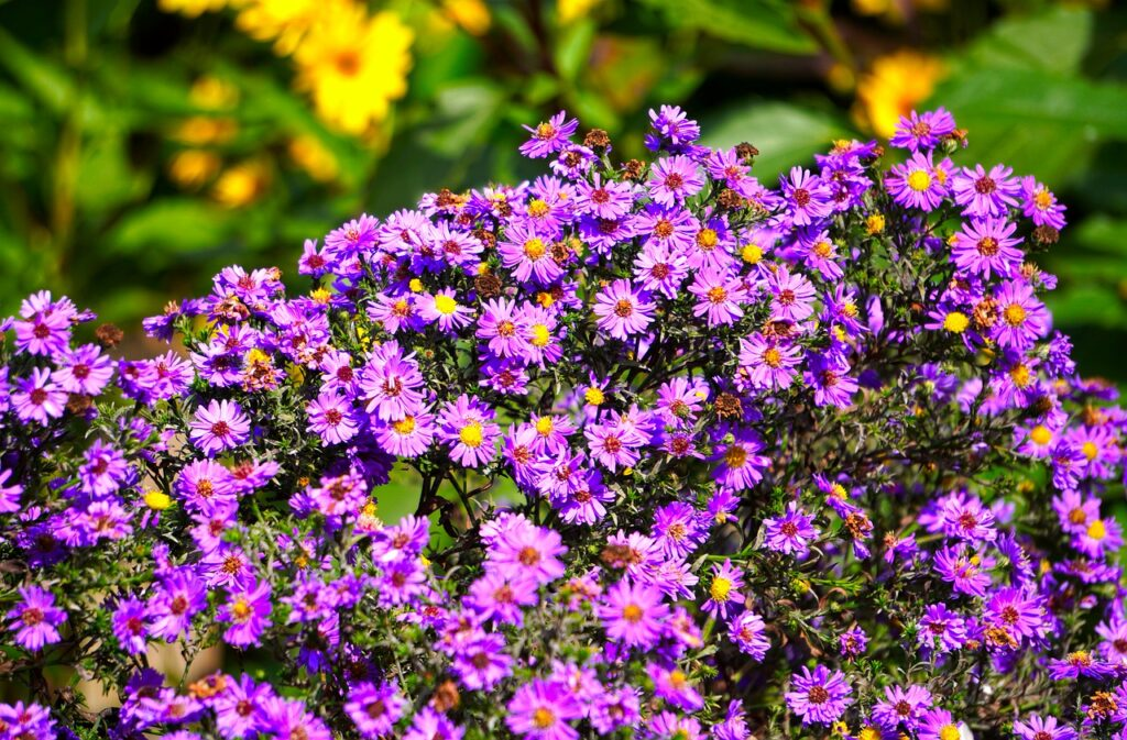 asters-4510639_1280