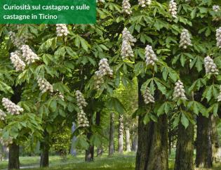 Curiosità sul castagno e sulle castagne in Ticino